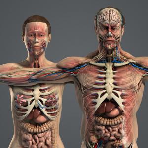 3d model male and female anatomy