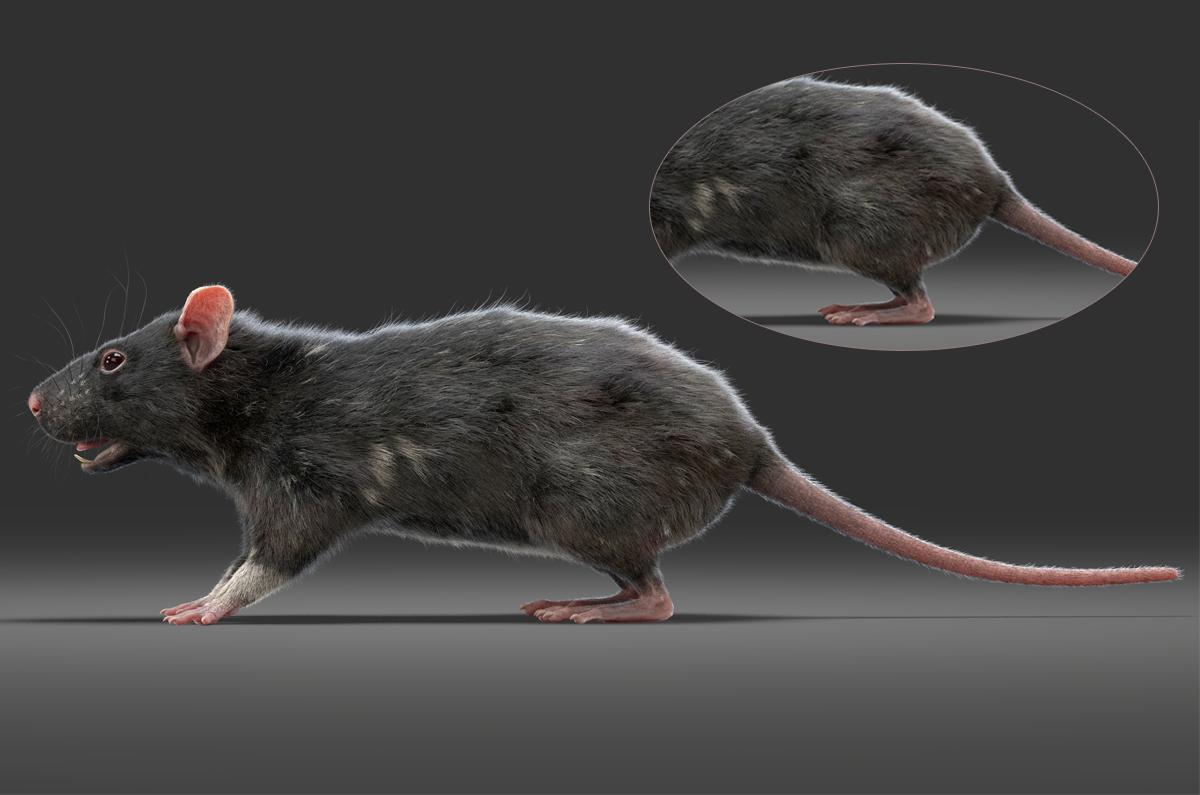 long-tailed rodent 3d model turbosquid