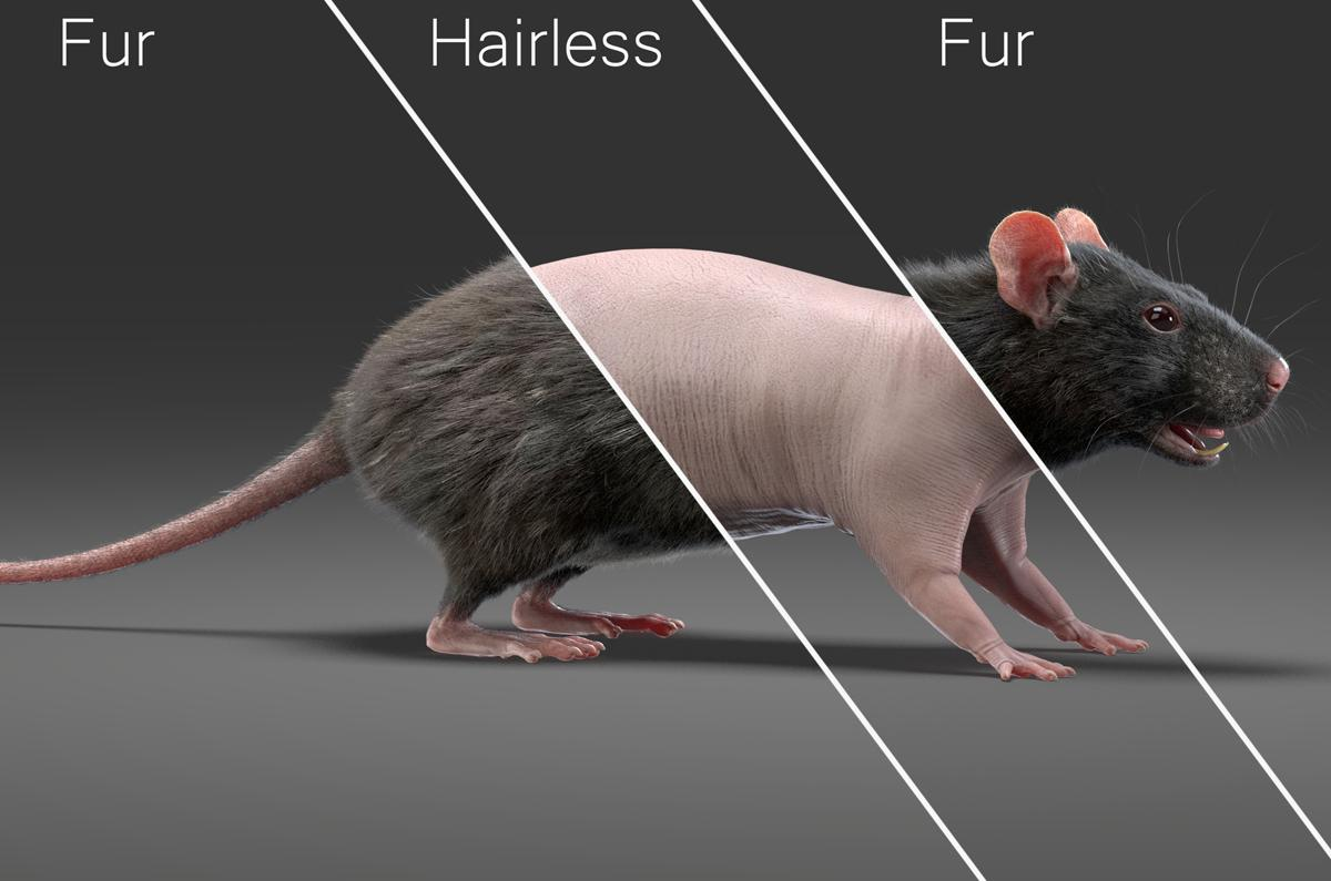 rat with and without fur 3d model turbosquid