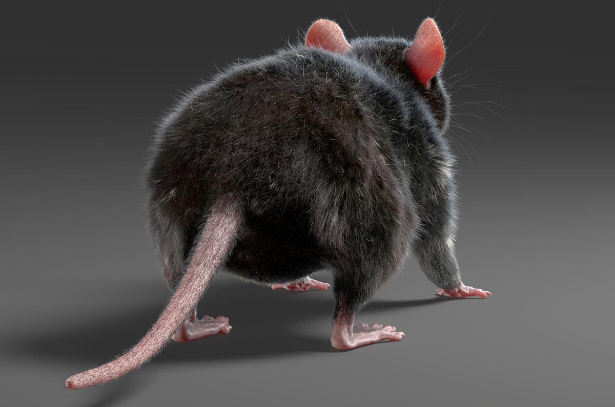 rat's tail 3d model turbosquid