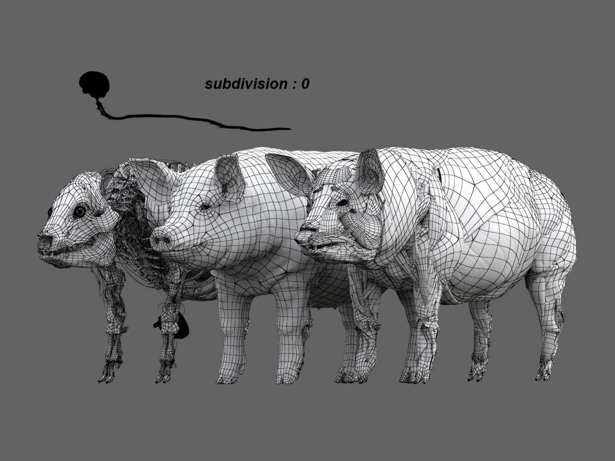 pig anatomy maya zbrush 3d model turbosquid