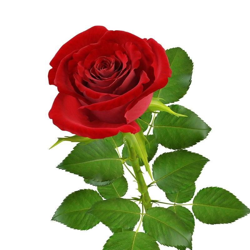 red rose 3d model turbosquid