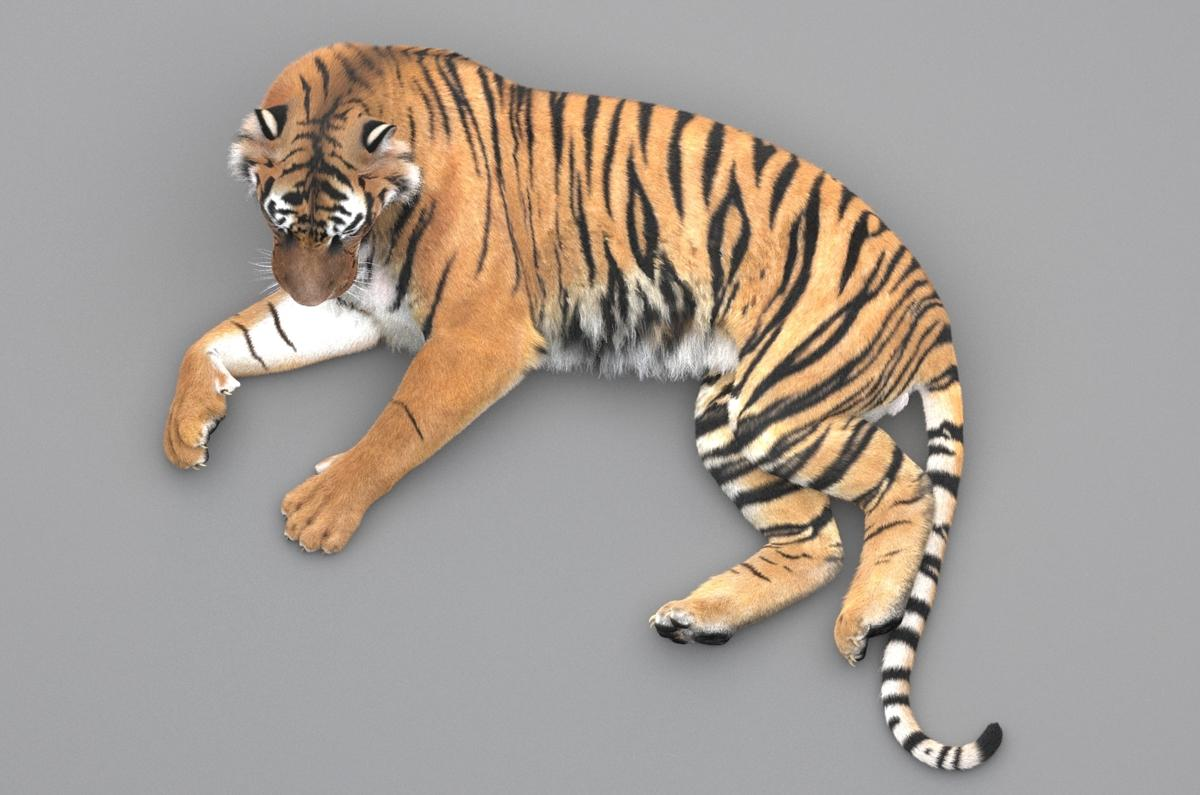 siberian tiger 3d view 3d model turbosquid