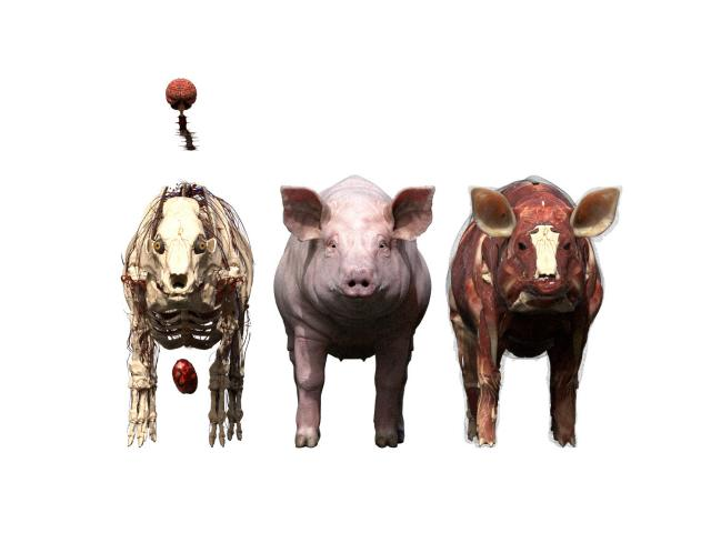 female pig anatomy 3d model turbosquid