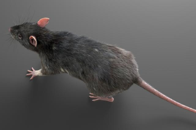 small mammal 3d model turbosquid