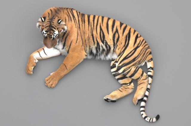 siberian tiger 3d view 3d model turbosquid
