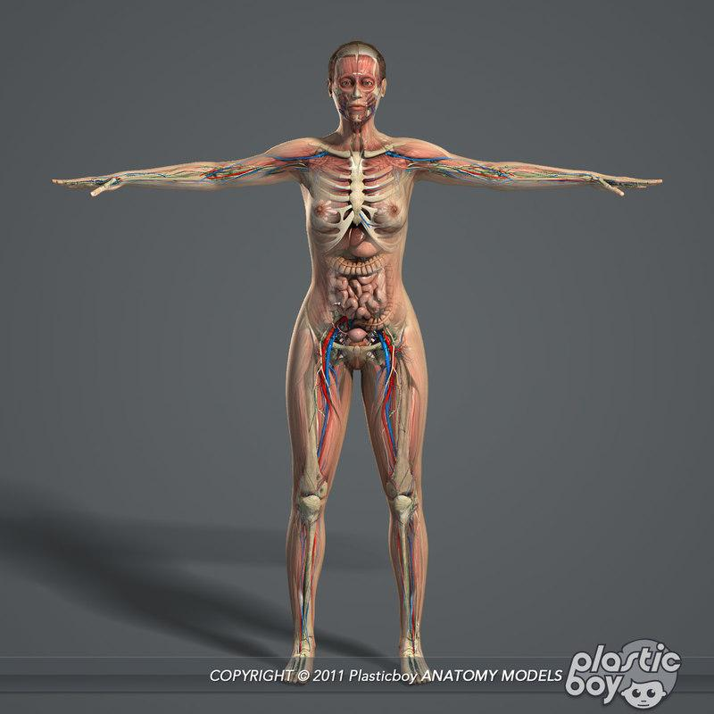 3d model woman anatomy