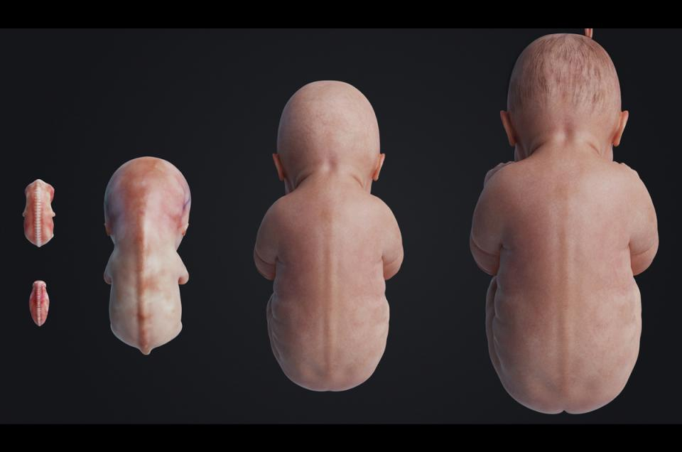 embryo spinal cord development 3d model animated turbosquid