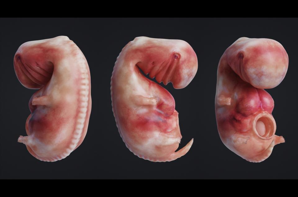 stages of prenatal development 3d model animated turbosquid