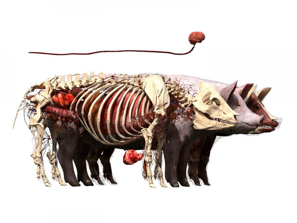 pig skeleton anatomy 3d model turbosquid