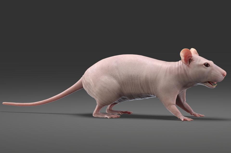 hairless rat 3d model turbosquid