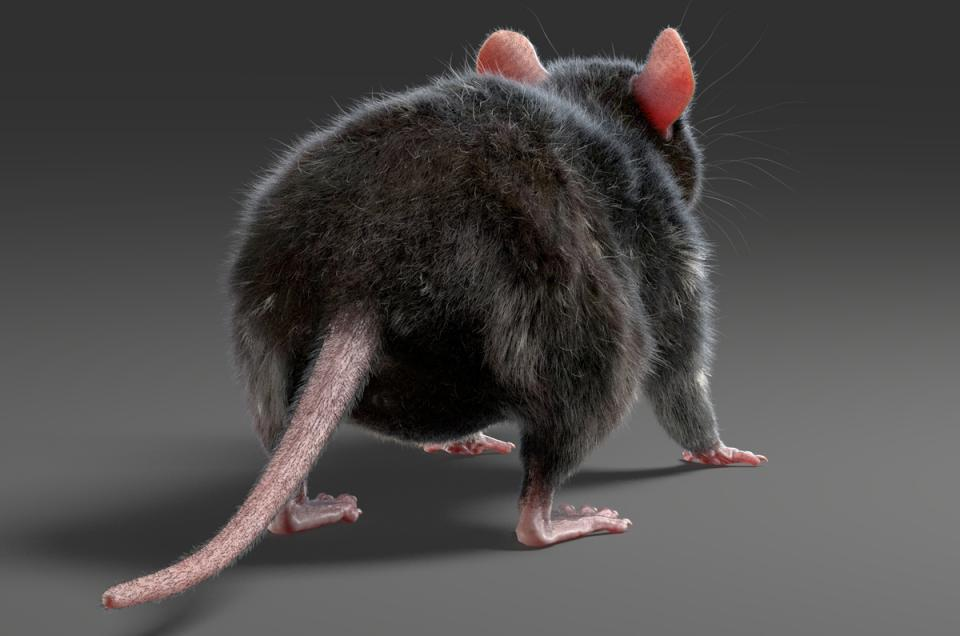 rat's tail 3d model turbosquid