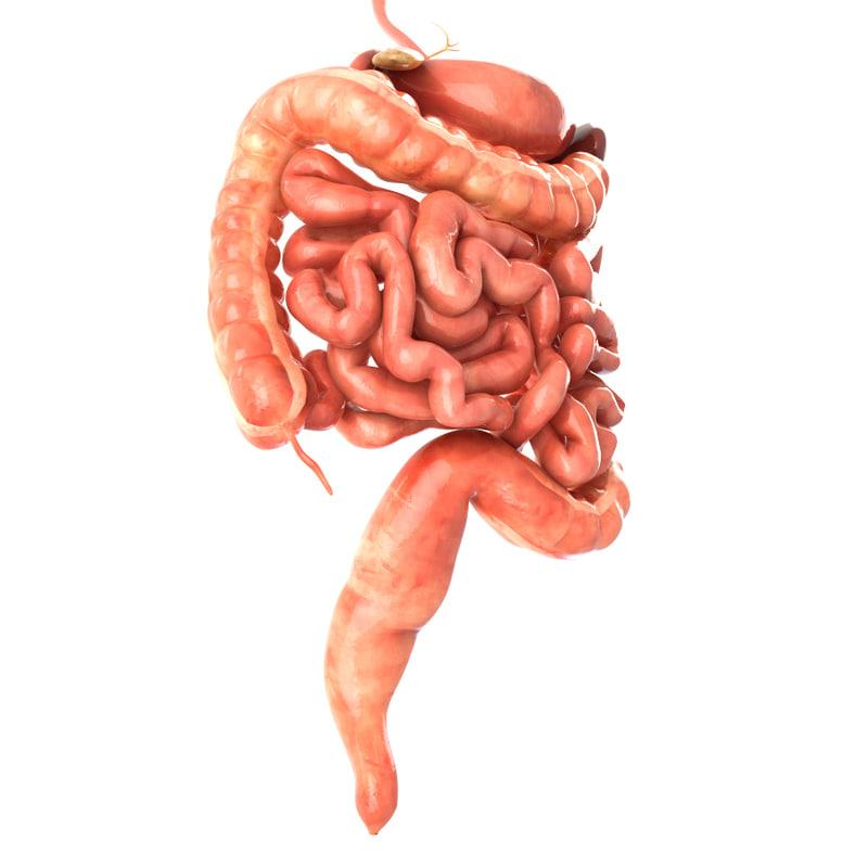large intestine 3d model turbosquid