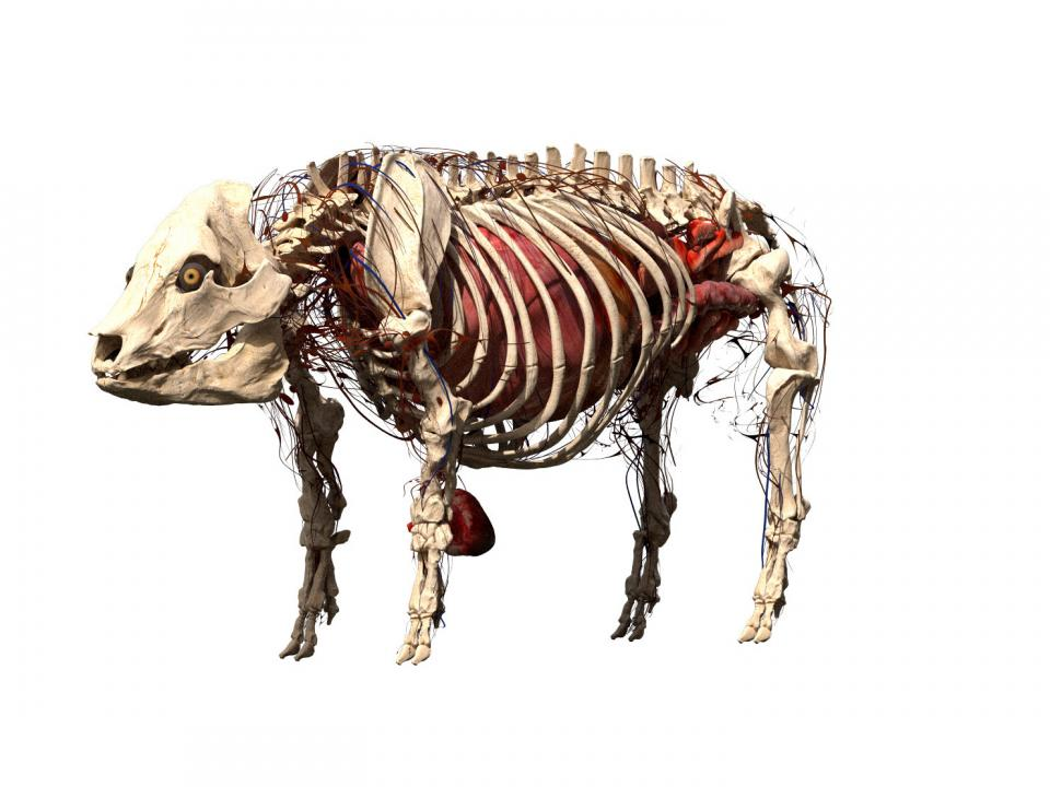 pig skeleton 3d model turbosquid
